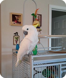 Cockatoo for adoption in Shawnee Mission, Kansas - Dolly
