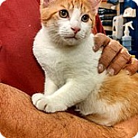 Adopt A Pet :: Patches - Cranford/Rartian, NJ