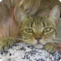 Adopt A Pet :: Bobbette - Dallas, TX