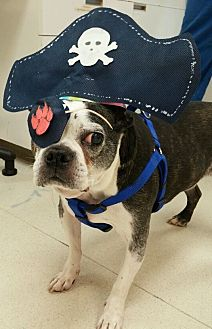 Boston Terrier Dog for adoption in Nashville, Tennessee - Stevie