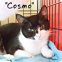 Adopt A Pet :: Cosmo - Ocean City, NJ