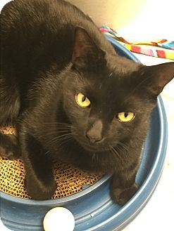 American Curl Cat for adoption in New York, New York - Egypt