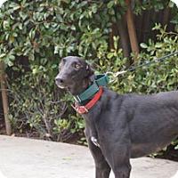 Adopt A Pet :: Obsidian - Walnut Creek, CA