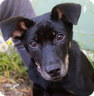 Marina del Rey, CA - Pharaoh Hound Mix. Meet Cindy a Puppy ...
