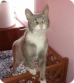 Domestic Shorthair Cat for adoption in Cheltenham, Pennsylvania - Geneva