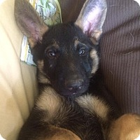 Adopt A Pet :: Gideon - Available Soon! - Detroit, MI