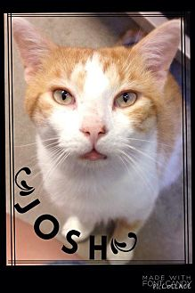 Domestic Shorthair Cat for adoption in Hartford City, Indiana - Josh