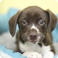 Adopt A Pet :: Blaze - Waldorf, MD