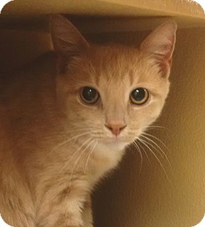 Domestic Shorthair Cat for adoption in Morristown, New Jersey - Pinky