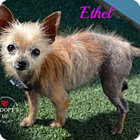 Chihuahua Mix Dog for adoption in Youngwood, Pennsylvania - Ethel