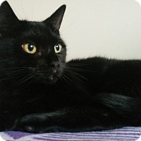 Domestic Shorthair Cat for adoption in Toronto, Ontario - Cleo
