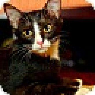 Domestic Shorthair Kitten for adoption in Nashville, Tennessee - Skye