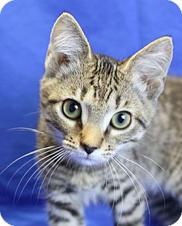 Domestic Shorthair Kitten for adoption in Winston-Salem, North Carolina - Bert