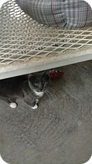 American Shorthair Cat for adoption in Odessa, Texas - Mouser