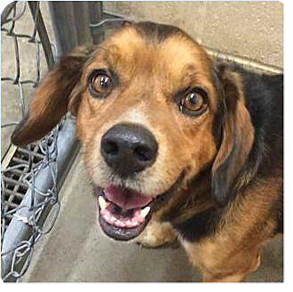 Beagle Mix Dog for adoption in Springdale, Arkansas - Gizno
