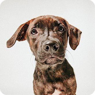 Labrador Retriever/Hound (Unknown Type) Mix Puppy for adoption in Houston, Texas - Storm