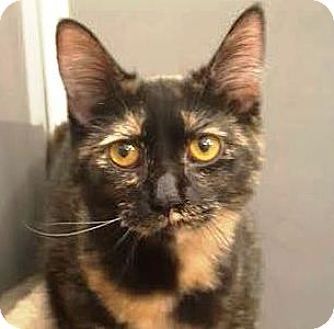 Domestic Shorthair Cat for adoption in Walworth, New York - Perla