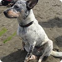 Adopt A Pet :: Oscar, awesome & active heel - Snohomish, WA