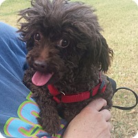 Adopt A Pet :: Lottie- Toy Poodle 8 lbs - Gaffney, SC