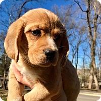 Adopt A Pet :: Nala (RBF) - Washington, DC