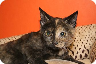 Domestic Shorthair Kitten for adoption in SILVER SPRING, Maryland - CARINA