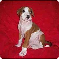 Adopt A Pet :: Rocky - Arlington, TX