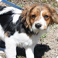 Adopt A Pet :: *Marley - PENDING - Westport, CT