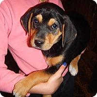 Adopt A Pet :: *Drew - PENDING - Westport, CT