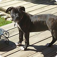 Adopt A Pet :: Beretta - Eastpointe, MI