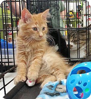 Harrisburg Nc Maine Coon Meet Big Red A Kitten For Adoption