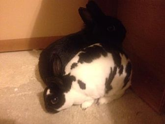 Dwarf Mix for adoption in Willingboro, New Jersey - BunBun and Rex