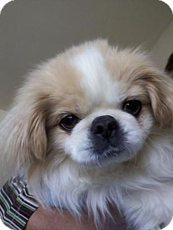 Japanese Chin Dog for adoption in Toronto, Ontario - Henry 3006