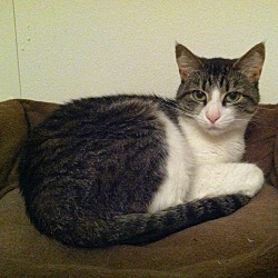 Photo 2 - Domestic Shorthair Cat for adoption in Bentonville, Arkansas - Coconut Cookie