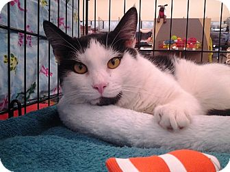 Domestic Shorthair Cat for adoption in Richmond, Virginia - Louie