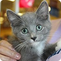 Domestic Shorthair Kitten for adoption in Louisville, Kentucky - Socks
