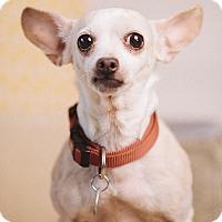 Adopt A Pet :: Cuddles - Portland, OR