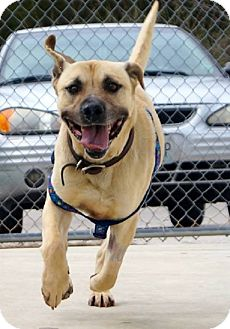 Labrador Retriever/Shepherd (Unknown Type) Mix Dog for adoption in O'Fallon, Missouri - Crimson
