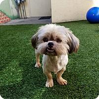 Adopt A Pet :: Ewok - Ft. Lauderdale, FL