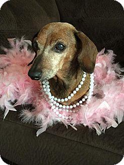 Dachshund Dog for adoption in Orangeburg, South Carolina - Hope