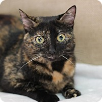 Domestic Shorthair Cat for adoption in Midland, Michigan - Moriah - STRAY