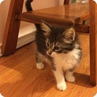 Norwegian Forest Cat Kitten for adoption in San Antonio, Texas - Harlee