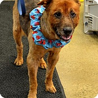 Chow Chow/Golden Retriever Mix Dog for adoption in Indiana, Pennsylvania - BJ