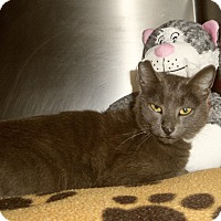 Russian Blue Cat for adoption in Medford, Wisconsin - NORMA RAE