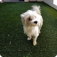 Adopt A Pet :: Lacy - Ft. Lauderdale, FL