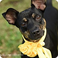 Terrier (Unknown Type, Medium)/Manchester Terrier Mix Dog for adoption in Miami, Florida - belle