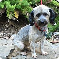Shih Tzu Mix Dog for adoption in Houston, Texas - Moka