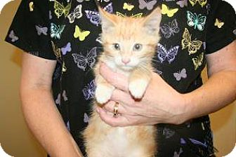 Domestic Mediumhair Kitten for adoption in Wildomar, California - Stevie