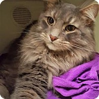 Domestic Mediumhair Cat for adoption in Lowell, Massachusetts - Toby