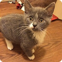 Adopt A Pet :: Macey - Plainville, CT
