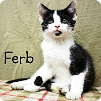 Adopt A Pet :: Ferb-Vocal, affectionate baby - Taylor Mill, KY